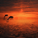 Dolphins at Sunset Live Wallpa logo