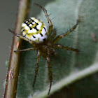Mangora acalypha