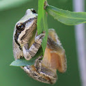 Baja California Tree Frog