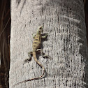 Black Spinytail Iguana juvenile