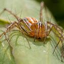 Common Lynx Spider