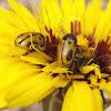 Beetle. Escarabajo amarillo