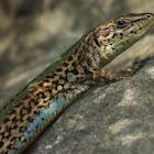 Dalmatian wall lizard