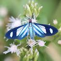 Ctenuchid Moth