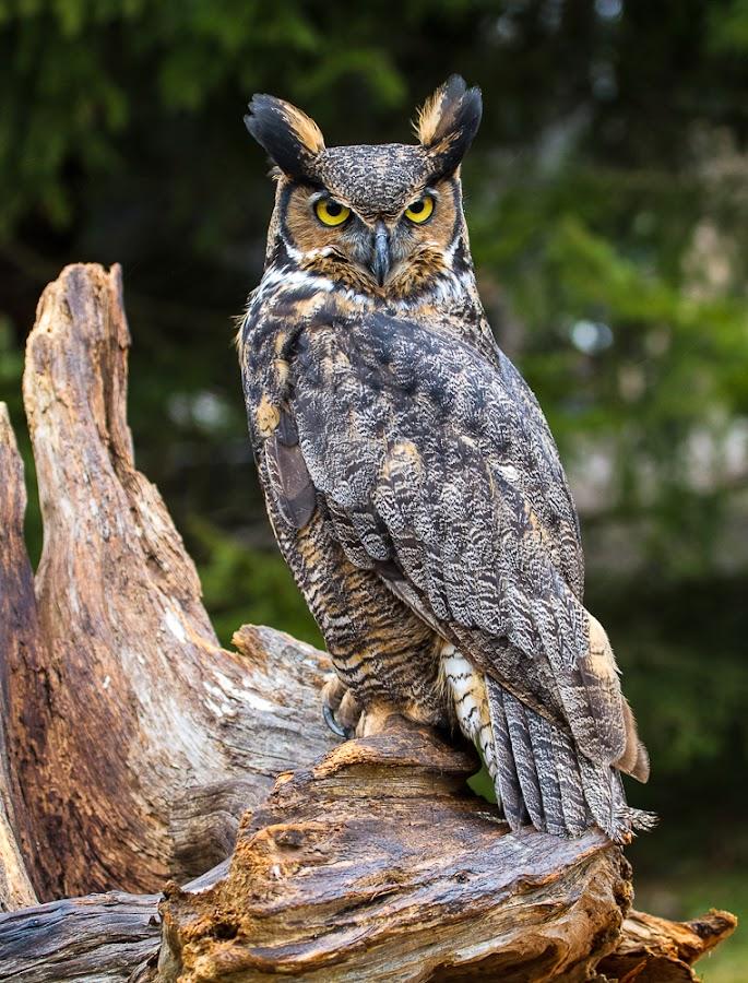 Great Horned Owl by Craig Brown - Animals Birds ( bird of prey, canada, image, ontario, canon 7d, photo, great horned owl, photography, bird, nature, craig, owl, photographer, craig brown )