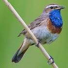 UK Birds Sounds Free icon