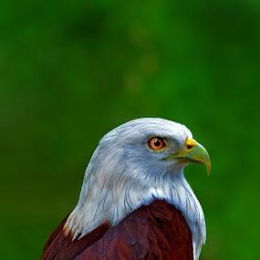 eagle by Sarol Glider - Animals Birds
