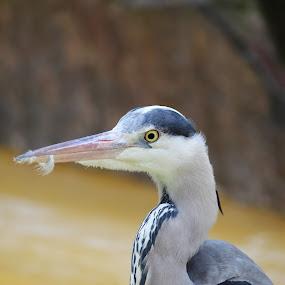 Egret with a feather in its beak by Birgit Vorfelder - Animals Birds ( bird, beak, feather, heron, egret, profile, animal,  )