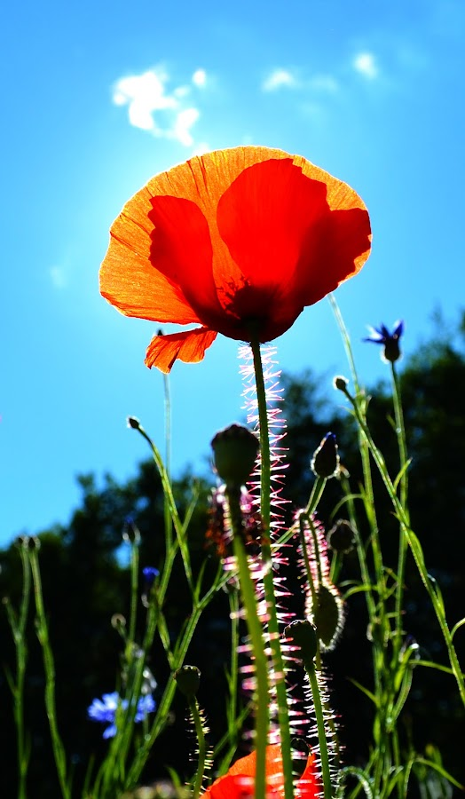Poppy by Kevin Morris - Flowers Single Flower