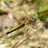 Nomad (Red-veined Darter)