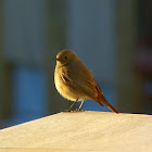 Common Redstart (female)