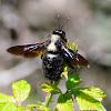 Violet carpenter bee; Abejorro carpintero