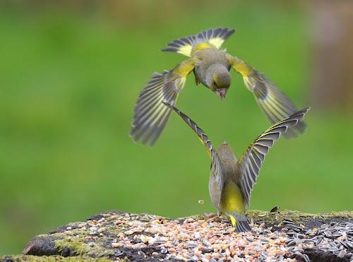 Ruzie bij de groenlingen. by Dirk Van den Berghen - Animals Birds