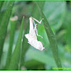 Grasshopper (Molted Exoskeleton)