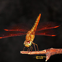 Odonata in the Philippines
