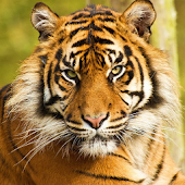 Best Tigers Wallpapes