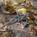 Common Puerto Rican Ameiva, Puerto Rican ground lizard