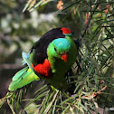 Red-winged Parrot (MALE)