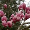 Mulan magnolia