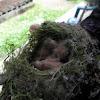 swainson's thrush abandoned nest