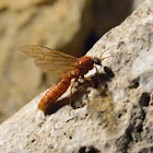 Sausage Fly (Army Ant)