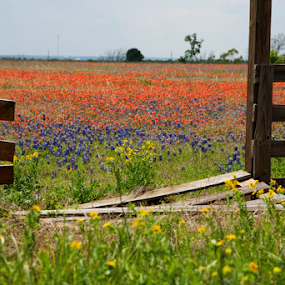 Texas Spring Colors by Dave Files - Flowers Flowers in the Wild ( digital, Spring, springtime, outdoors,  )