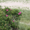 Japanese Rose, Rugosa Rose