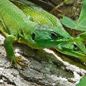 Balcan green lizard