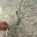 Orange striped ribbon snake