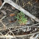 Scribners rosette grass