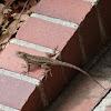 Western Side-blotched Lizard
