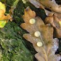 Oak Apple, Gall Wasp larvae