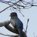 Trogon Violáceo, macho (Male violaceous trogon)