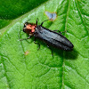 Red Necked Cane Borer