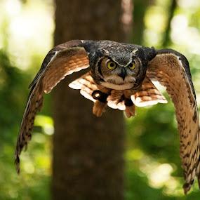 Owl In Flight by George Holt - Animals Birds ( flight, flying, owl, eating, attack, , bird, fly )
