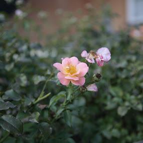 by Ian  Rivera - Flowers Flower Buds