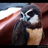 Lechuzón de anteojos / Spectacled Owl