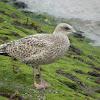 British Herring Gull juveniles