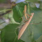European Pray Mantis