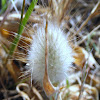 Hare's Tail Grass