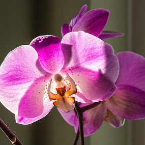 Orchid by Eddie Tuggle - Flowers Single Flower ( orchid, purple, backlight, flower )