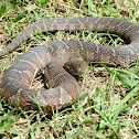 Common Water Snake