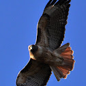Red-Tailed Hawk (RTHA)