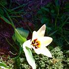 Tulip: White