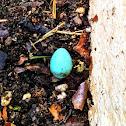 Eastern Bluebird Egg